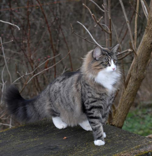 Wildfee's Norwegian Forest Cats