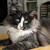 Wildfee's Norwegian Forest Cats: Wildfee's Lilli More