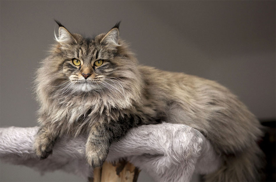 dk gic smedegaard 39 s prinsessen p rten wildfee 39 s norwegische waldkatzen. Black Bedroom Furniture Sets. Home Design Ideas